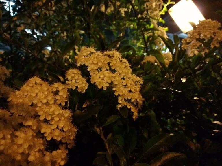Blüten unter einer Straßenlaterne. Hier gefällt mir, wie das P10 Lite mit dem schräg einfallenden Kunstlicht spielt.