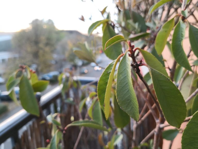 Die Balkonpflanze mit dem Huawei Mate 10 Pro hier OHNE Bokeh-Funktion aufgenommen. Das gelingt dem Gerät besser als mit. Da würde das Kodak Ektra gewinnen.