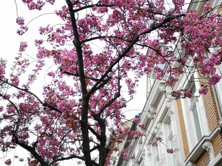 Kirschblüte mit ein wenig Zoom und KI.