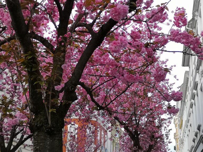 Mit ein wenig Zoom und KI gelangen mir die bisher schönsten Fotos von der Bonner Kirschblüte.