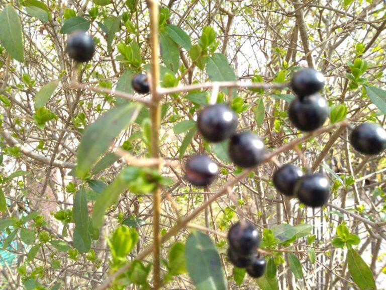 Mehrfach versuchte ich, diese Früchte scharf zu bekommen - vergebens. (Foto: Sven Wernicke)